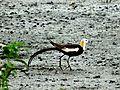 Pheasant tailed jacana mumbai.jpg
