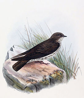 Brazzas martin A passerine bird of the swallow family from central Africa