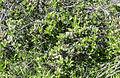 Phillyrea latifolia - Green olive tree - Akçakesme 03.jpg