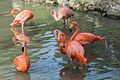 Phoenicopterus ruber (Flamant des Caraïbes) - 361.jpg