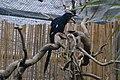 Phoeniculus purpureus -ZooParc de Beauval, France -juvenile-8a.jpg