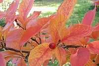 Photinia-villosa-autumn
