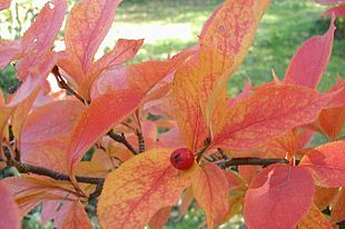 Photinia-villosa-autumn.JPG