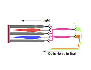 Samer Hattar - Light enters the eye and hits the retinal pigmented epithelium (maroon). This excites rods (grey) and cones (blue/red). These cells synapse onto bipolar cells (pink), which stimulate ipRGCs (green) and RGCs (orange). Both RGCs and ipRGCs transmit information to the brain through the optic nerve. Furthermore, light can directly stimulate the ipRGCs through its melanopsin photopigment. The ipRGCs uniquely project to the superchiasmatic nucleus, allowing the organism to entrain to light-dark cycles.