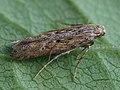 Phthorimaea operculella - Potato tuber moth - Картофельная моль (27035337308).jpg