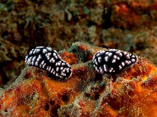 Phyllidia pustulosa (Nudibranch)