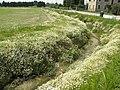 Piante di camomilla (Matricaria recutita) ornano un fossato a Campocroce (Mogliano Veneto).jpg