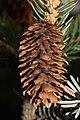 Picea sitchensis 5713.JPG