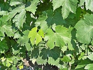 Piquepoul - Leaves of Piquepoul vines