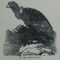 Picture Natural History - No 132 - The Condor.png
