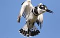 Pied Kingfisher, Ceryle rudis, at Pilanesberg National Park, South Africa (27859070194).jpg