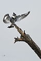 Pied Kingfisher, Ceryle rudis at Pilanesberg National Park, South Africa (15988982681).jpg