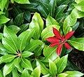 Pieris japonica (Mountain Fire)-2.jpg