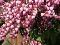 Pieris japonica - Lavendelheide, mit Bombus terrestris - Dunkle Erdhummel.jpg