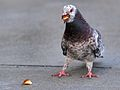 Pigeon on a Mission at Mission Bay.jpg