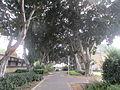 PikiWiki Israel 40659 Ficus aveneu in kibbutz Ramat HaKovesh.JPG