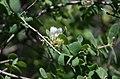 PikiWiki Israel 69596 lonicera nummulariifolia .jpg