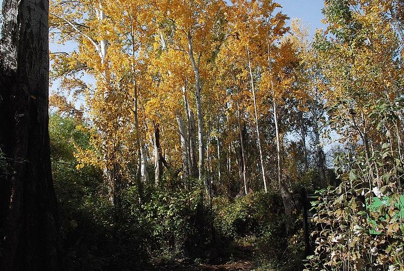 עצי צפצפה באתר הבניאס