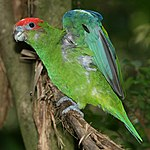 A green parrot with a red forehead, and blue eye-spots and wings
