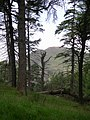 Pine woods, Braid Law - geograph.org.uk - 32142.jpg