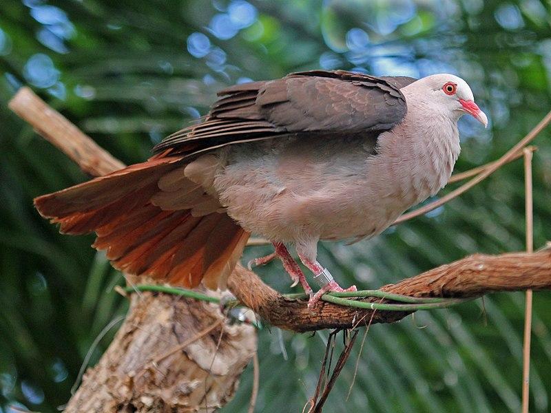 File:Pink Pigeon RWD4.jpg