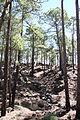 Pinus canariensis Tenerife Chio TF-36 pine forest Los Hoyos IMG 4838.JPG