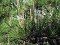 Pinus densiflora.JPG