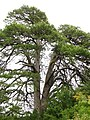 Pinus nigra ssp nigra, near Anavriti, Greece.jpg