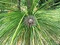 Pinus palustris 5zz.jpg