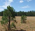 Pinus ponderosa subsp benthamiana young tree Pine Creek Valley.jpg