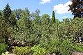 Pinus pumila Rogów 3.JPG
