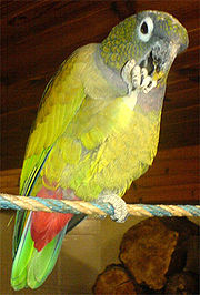 A green-yellow parrot with a light-grey collar and face, white eye-spots, and a red underside of the tail