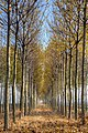 Pioppi - Sant'Agata Bolognese (BO) Italia - 18 Novembre 2011 - panoramio.jpg