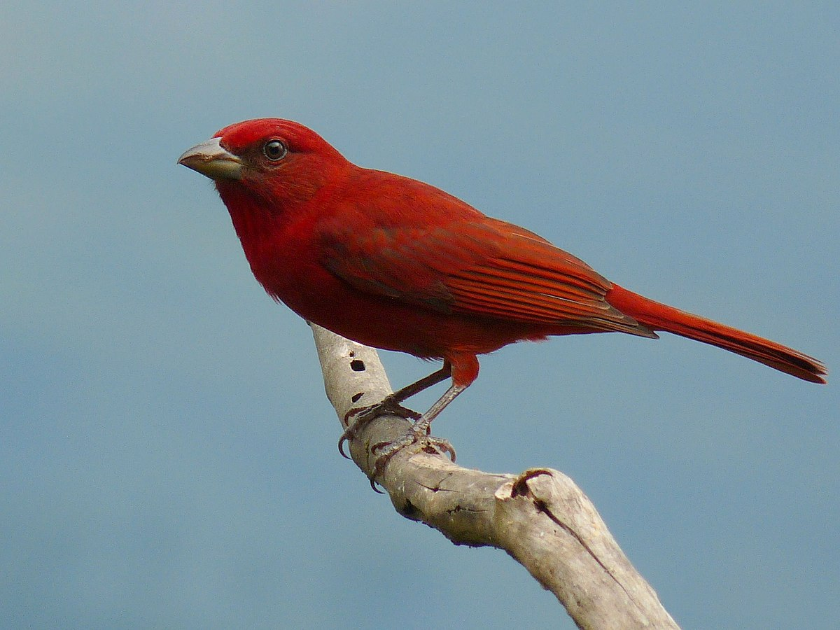 red colored birds of north america - HD2048×1536