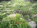 Pirin flora 1.jpg