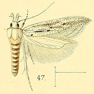<i>Pyncostola</i> genus of insects
