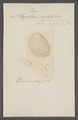 Plagiostoma punctata - - Print - Iconographia Zoologica - Special Collections University of Amsterdam - UBAINV0274 075 03 0009.tif
