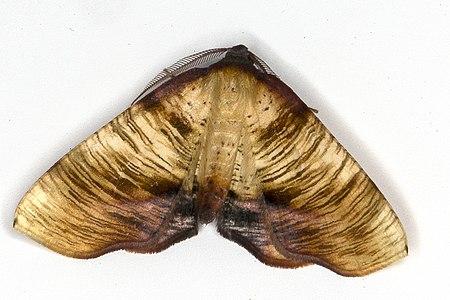 Plagodis dolabraria 03(js) Lodz (Poland).jpg