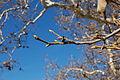 Platanus racemosa-8.jpg