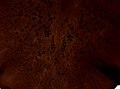 Pleioplana atomata (YPM IZ 073824).jpeg