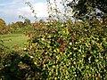Plenty of wild berries waiting to be plucked - geograph.org.uk - 583340.jpg
