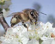 Honey Bee on a plum blossom