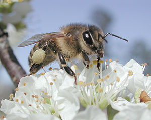 Parthenogenesis - Honey bee on a plum blossom