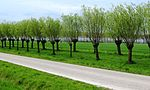 Pollarded trees near Sluis two years later April 2009 cropped to match last times more or less.jpg