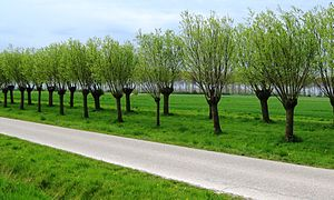 Pollarding - The same trees two years later, showing the gradual expansion of the trees' crowns