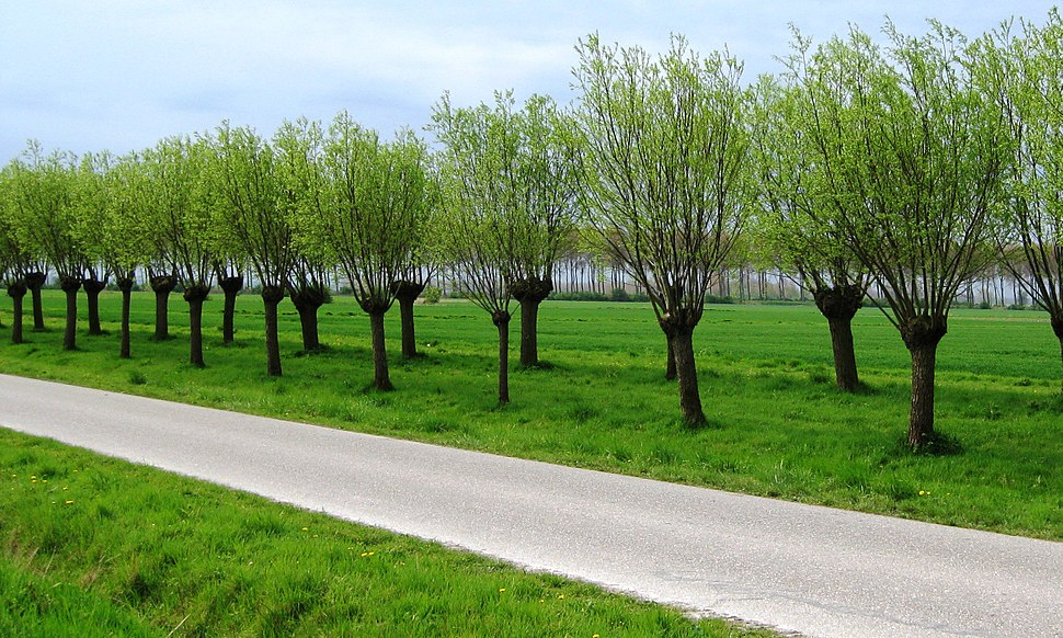 Pollarded trees near Sluis two years later April 2009 cropped to match last times more or less