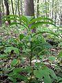 Polygonatum latifolium sl2.jpg