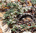 Polygonum shastense white flower branch.jpg