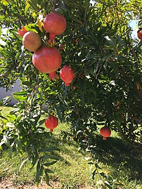 Pomegranates in May.jpg