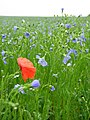 Poppies and blue flowers - geograph.org.uk - 57765.jpg